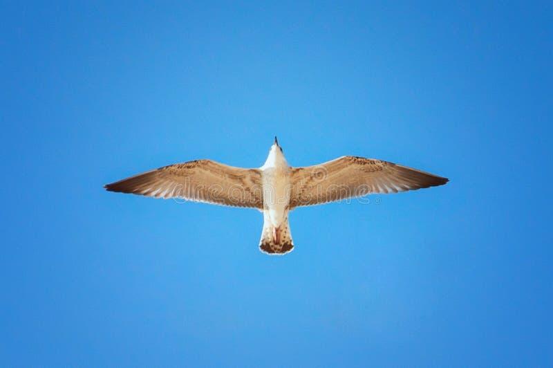 Un gabbiano in volo fotografie stock libere da diritti
