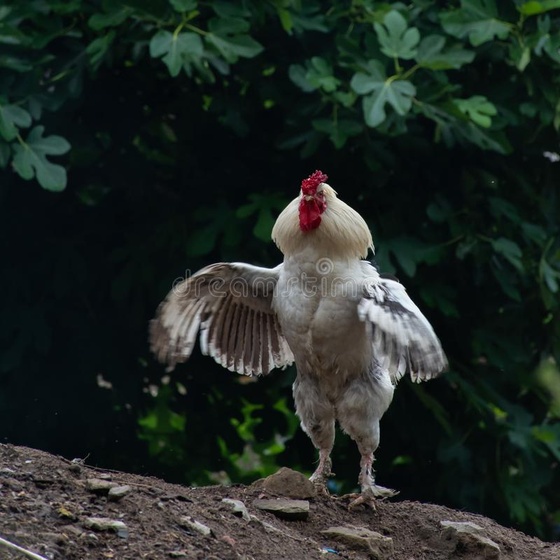 Un gallo blanco orgulloso que agita sus alas fotografía de archivo libre de regalías