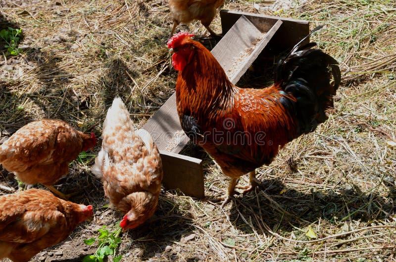 Un gallo e una regina su un'azienda agricola vicino ad un alimentatore di legno fotografie stock libere da diritti