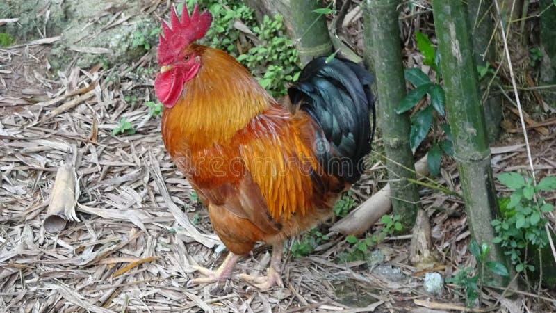 Un gallo mi esamina molto curioso immagine stock libera da diritti