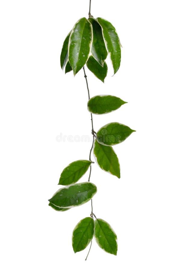 Un gambo di Hoya isolato su fondo bianco. fotografia stock
