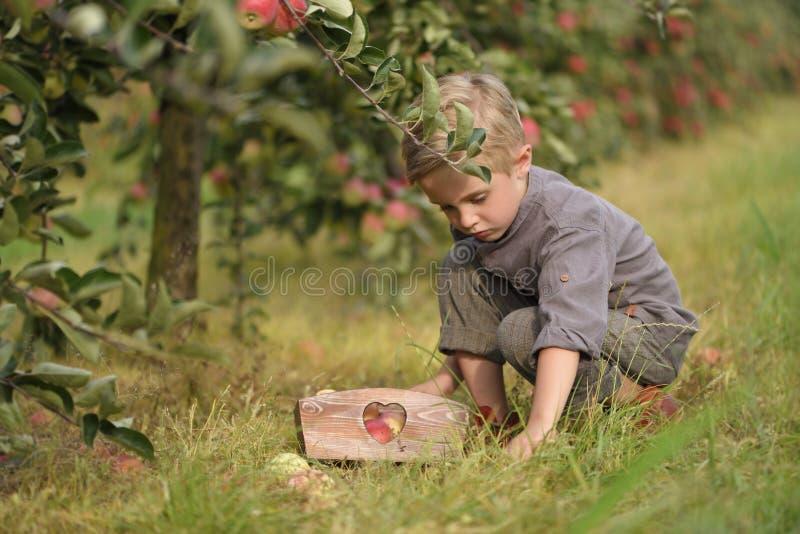 Un garçon mignon et souriant sélectionne des pommes dans un champ de pommiers et tient une pomme photos stock