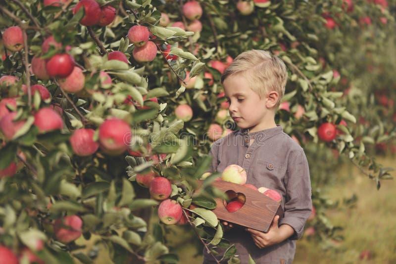 Un garçon mignon et souriant sélectionne des pommes dans un champ de pommiers et tient une pomme photographie stock