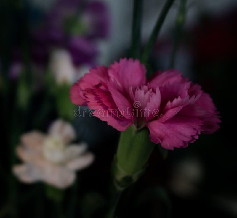 Un garofano rosa concentrato buio fotografia stock libera da diritti