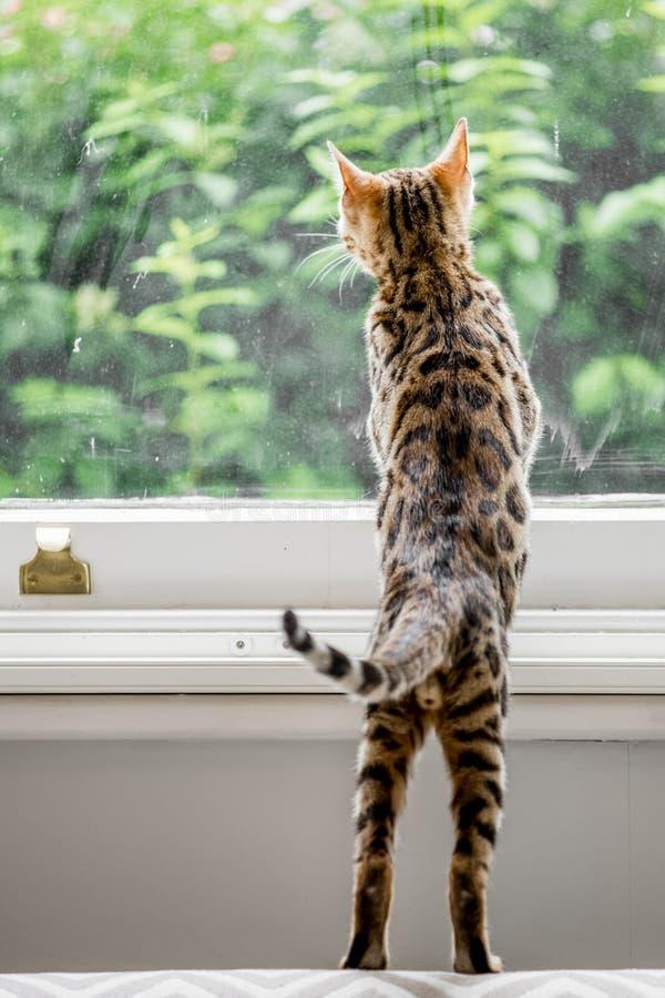 Un gatito lindo de Bengala de detrás la mirada fuera de una ventana fotos de archivo