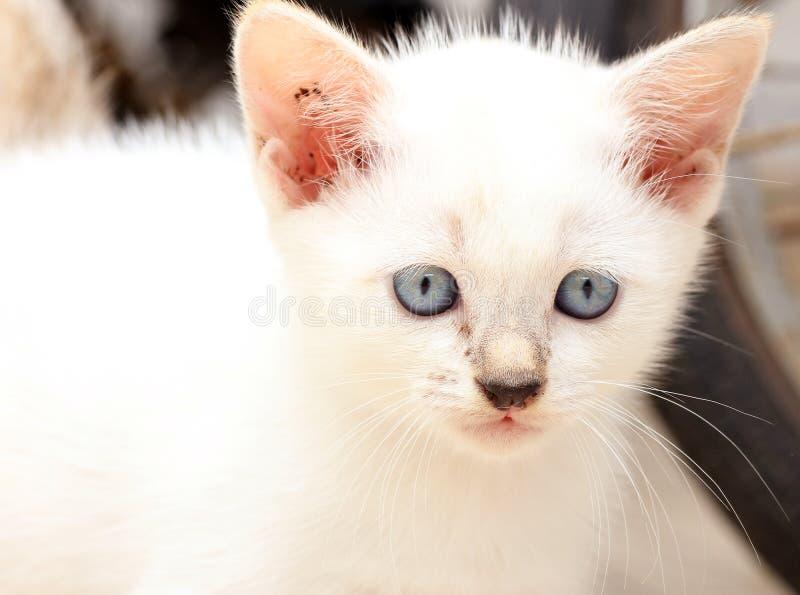 Un gatito lindo del ojo azul con los ojos agudos fotos de archivo
