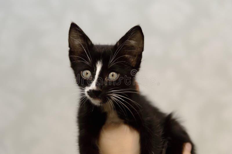 Un gatito negro pequeño, mestizo con un pecho blanco foto de archivo libre de regalías