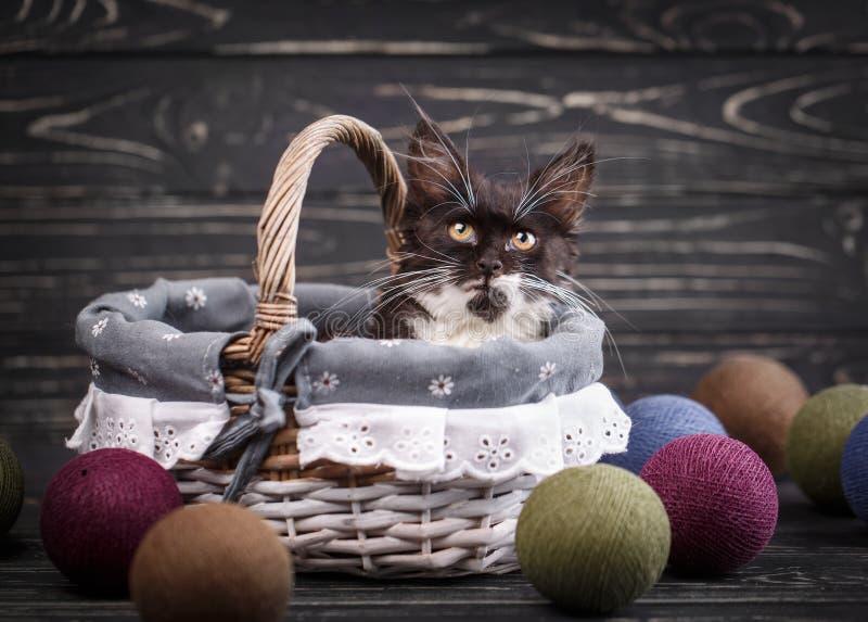 Un gatito peludo con el bigote largo se sienta en una cesta fotografía de archivo libre de regalías