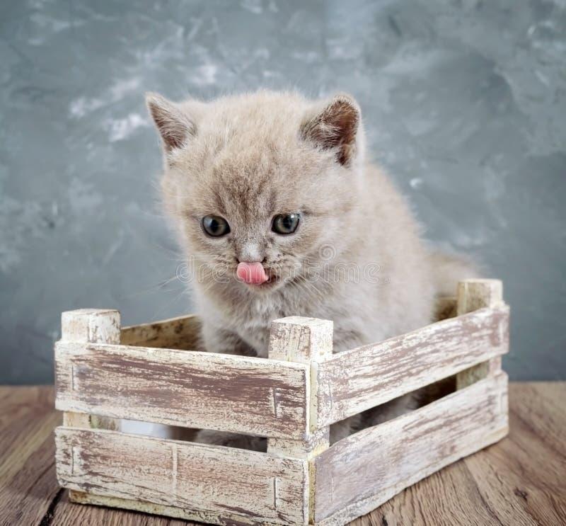 Un gatito recto escocés de la pequeña lila en una caja de madera El gato mira cuidadosamente y se lame foto de archivo libre de regalías