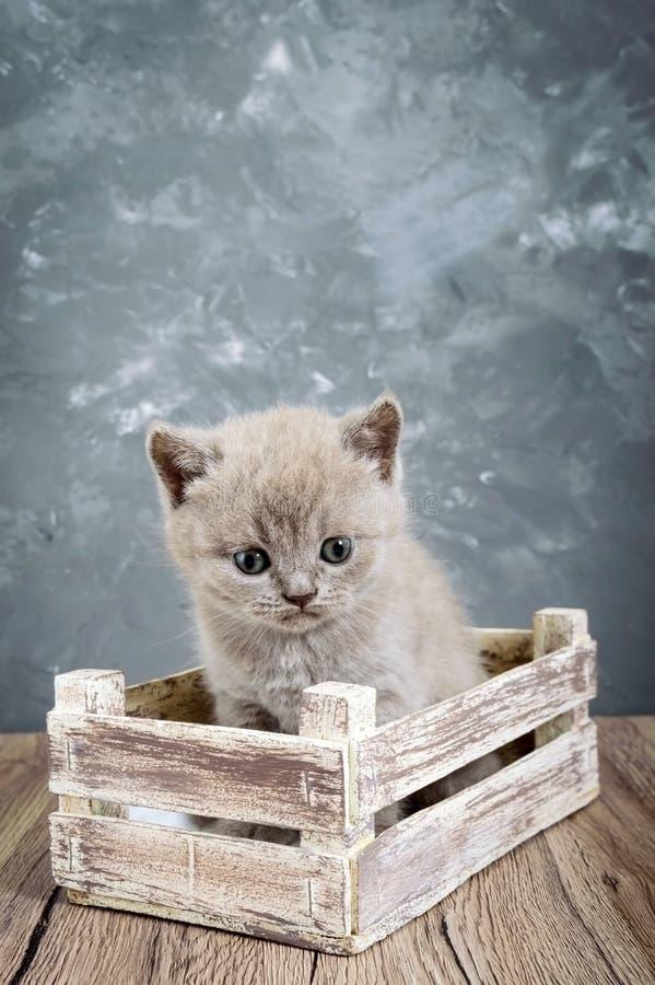 Un gatito recto escocés de la pequeña lila en una caja de madera Gato que mira cuidadosamente imagenes de archivo
