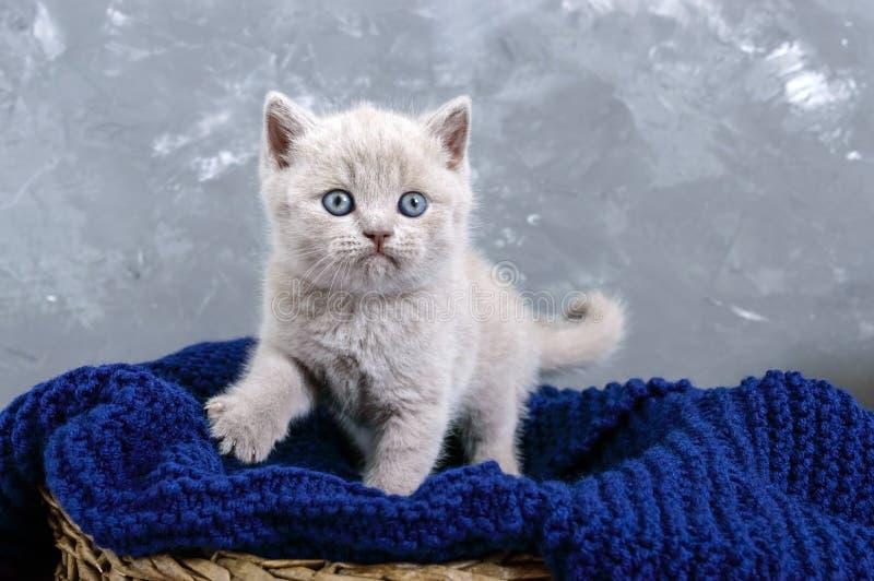 Un gatito recto escocés de la pequeña lila en una cesta El gatito mira cuidadosamente imagen de archivo libre de regalías