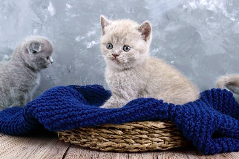 Un gatito recto escocés de la pequeña lila en una cesta El gatito mira cuidadosamente fotografía de archivo libre de regalías