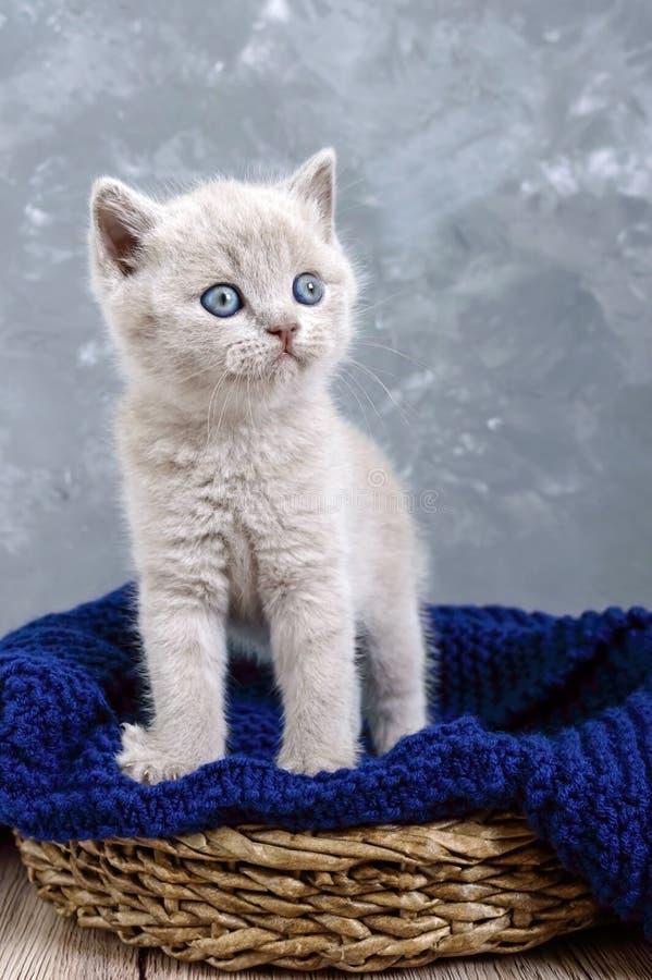 Un gatito recto escocés de la pequeña lila en una cesta El gatito mira cuidadosamente fotos de archivo