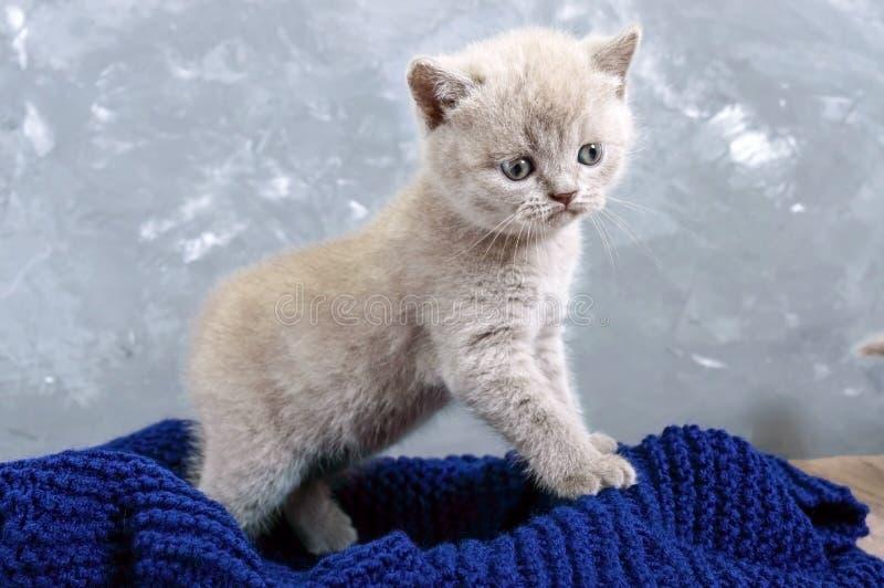 Un gatito recto escocés de la pequeña lila en una cesta El gatito mira cuidadosamente fotografía de archivo