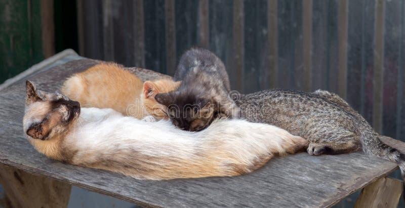 Un gato alimenta la leche de tres gatitos diferentemente coloreados foto de archivo