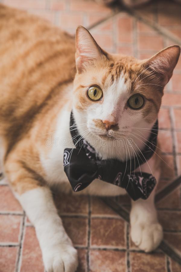 Un gato anaranjado y blanco con la corbata de lazo imagen de archivo libre de regalías