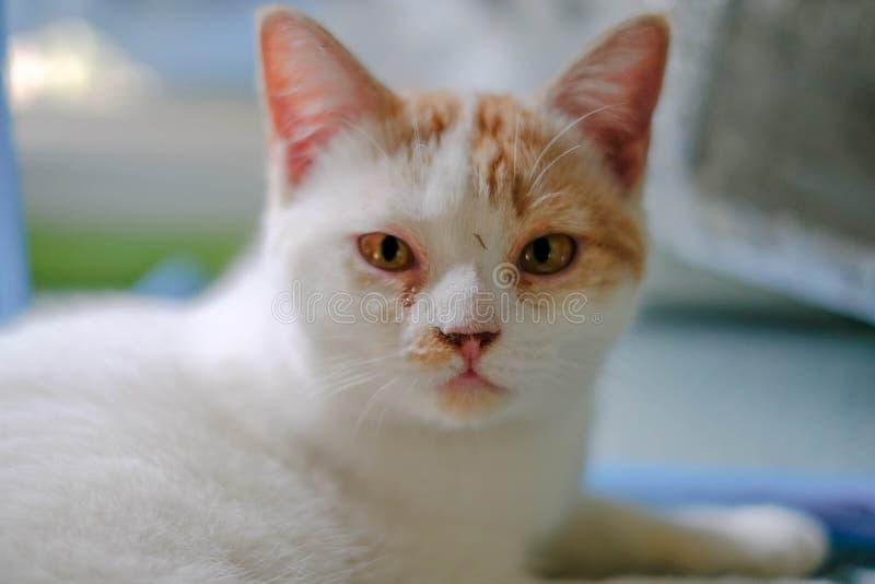 Un gato blanco con el pelo largo medio, como una raza del persa o del Ragamuffin, lamiéndose los labios elegante después de que e imagenes de archivo