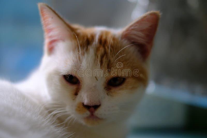 Un gato blanco con el pelo largo medio, como una raza del persa o del Ragamuffin, lamiéndose los labios elegante después de que e fotografía de archivo