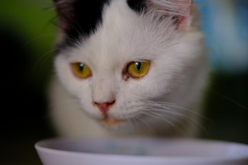 Un gato blanco con el pelo largo medio, como una raza del persa o del Ragamuffin, lamiéndose los labios elegante después de que e imágenes de archivo libres de regalías