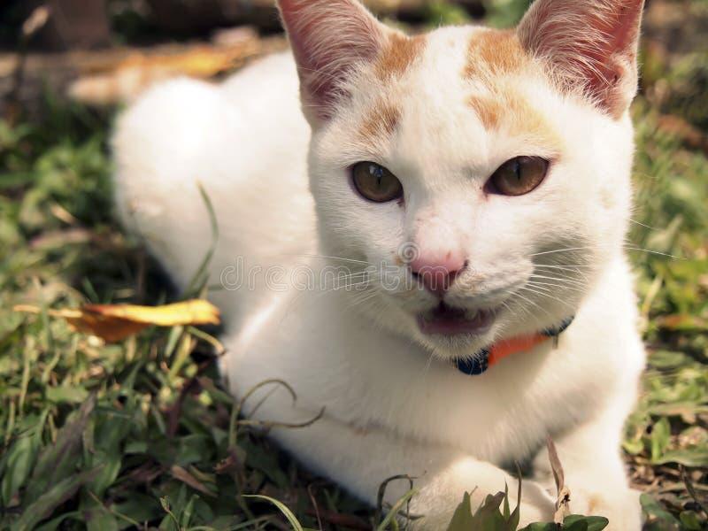 Un gato blanco en la yarda fotografía de archivo libre de regalías