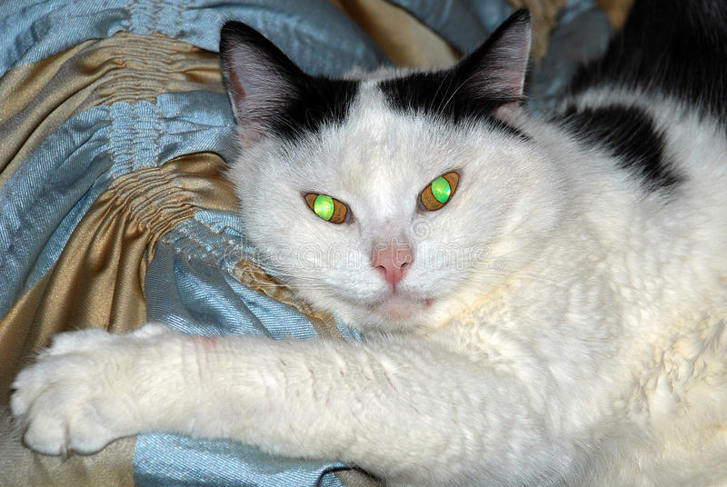 Un gato blanco y negro con la quema de ojos verde-amarillos fotografía de archivo libre de regalías