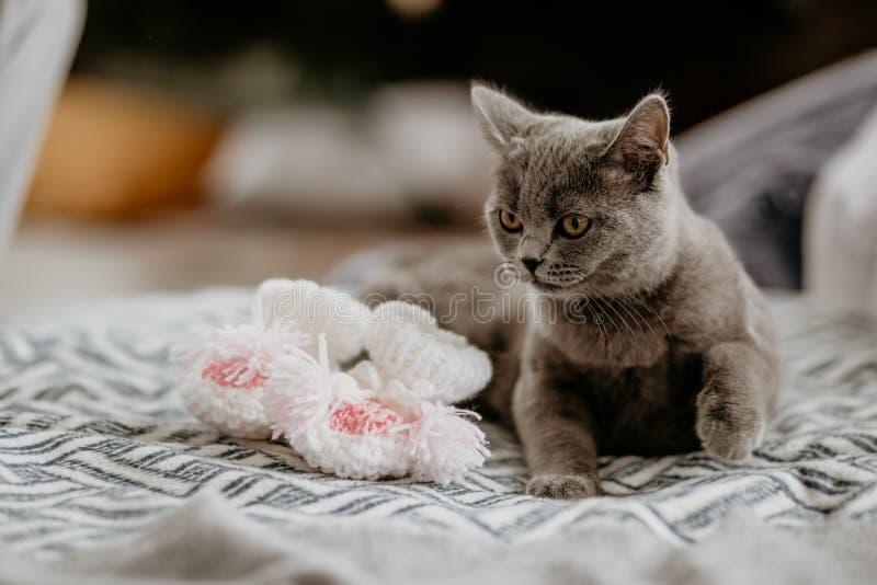 Un gato británico tendido cerca de calcetines blancos en la cama Gris felino british mirando hacia el costado fotos de archivo