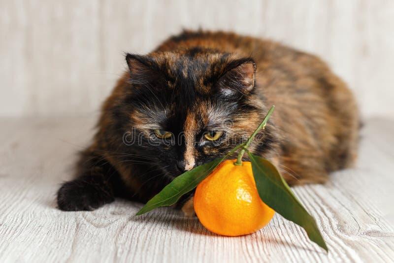 Un gato con un mandarín que huele de la cara contrariedad imagenes de archivo