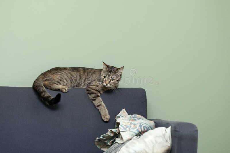 Un gato de casa miente en la parte de atrás del sofá fotos de archivo libres de regalías
