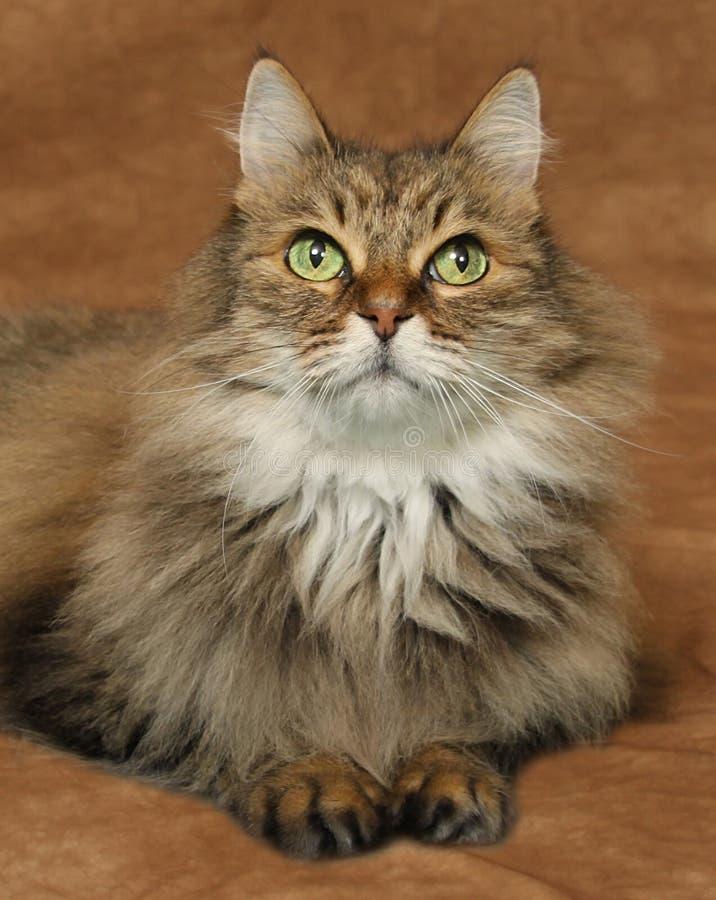 Un gato de tigre rayado marrón que miente en un contexto marrón que mira hacia arriba foto de archivo libre de regalías