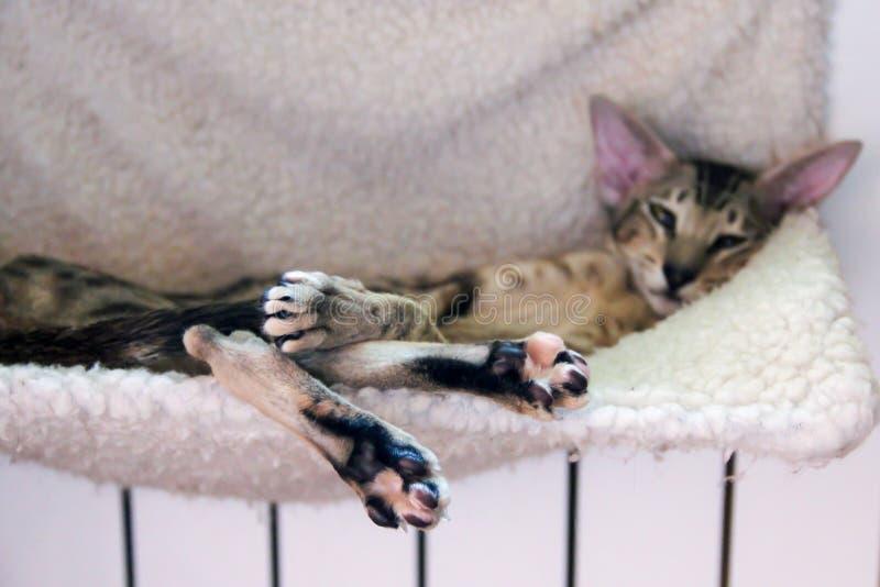 Un gato duerme, estirando hacia fuera sus piernas fotos de archivo