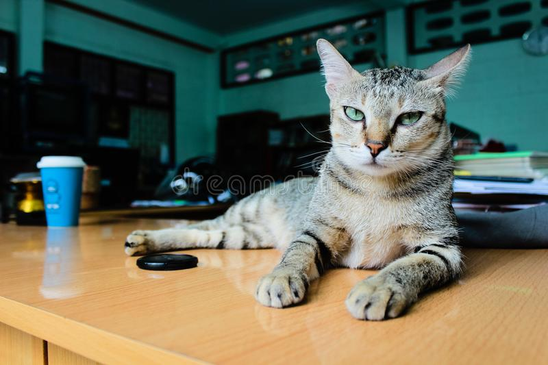 Un gato enojado precioso en el escritorio imagen de archivo