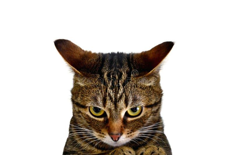Un gato furioso fotografía de archivo libre de regalías