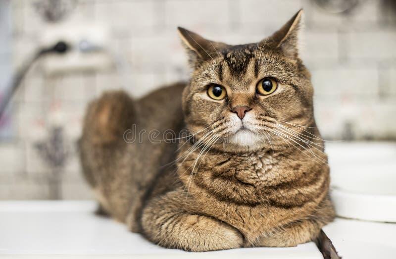 Un gato gordo del shorthair británico hermoso mira con interés fotografía de archivo