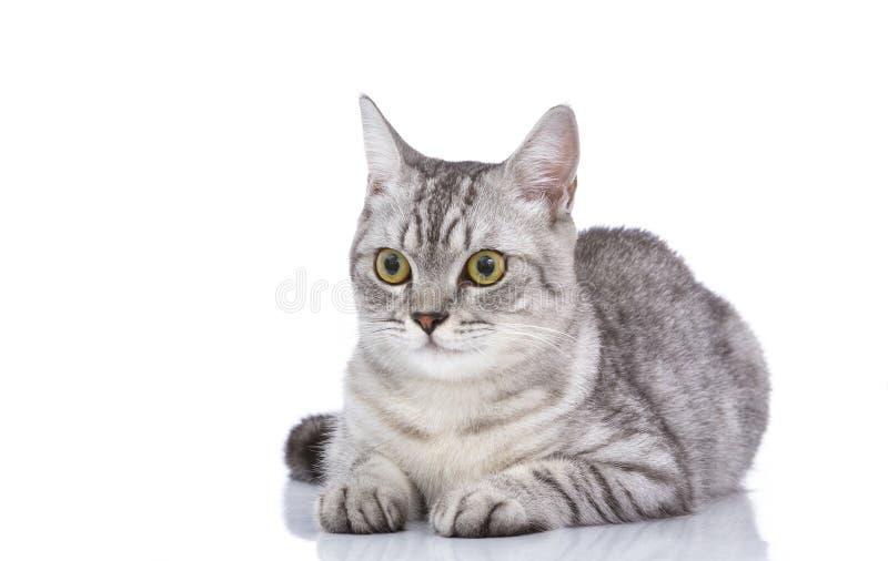 Un gato gris hermoso lindo aislado en un blanco foto de archivo