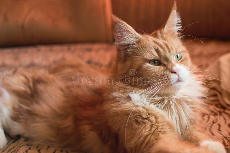 Un gato hermoso de Maine Coon miente en el sofá en casa foto de archivo