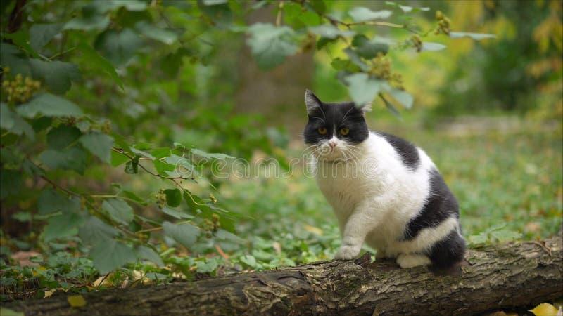 Un gato hermoso se sienta en un árbol en el jardín Gato del Balinese que se sienta en un cerezo en un jardín verde imagen de archivo