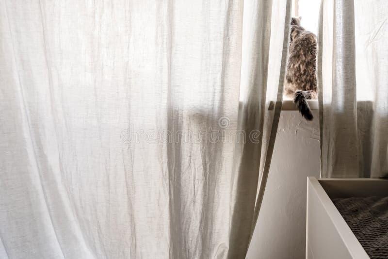 Un gato lindo se sienta en el alféizar detrás de una cortina y mira hacia fuera la ventana en los rayos del sol de la primavera foto de archivo libre de regalías