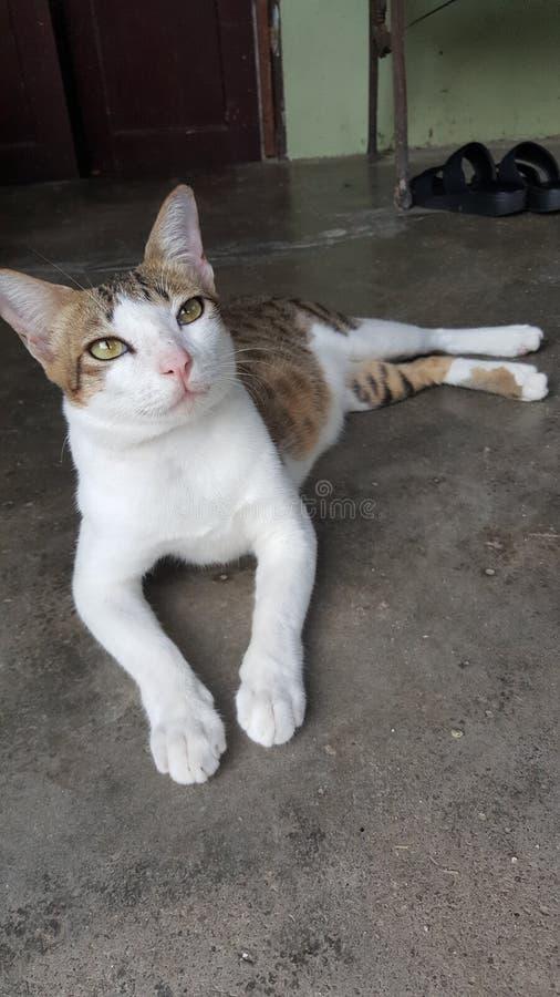 Un gato malasio fotografía de archivo libre de regalías