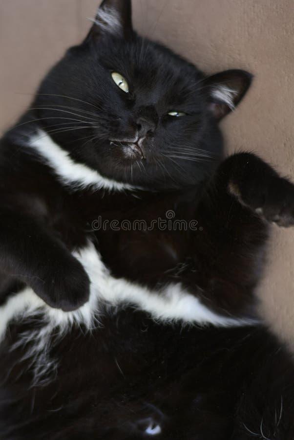 Un gato negro con los ojos verdes cubiertos y los puntos blancos fotografía de archivo libre de regalías