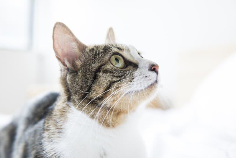 Un gato precioso en cama imagen de archivo libre de regalías