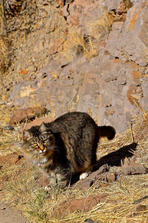 Un gato que camina en una trayectoria rocosa imagen de archivo