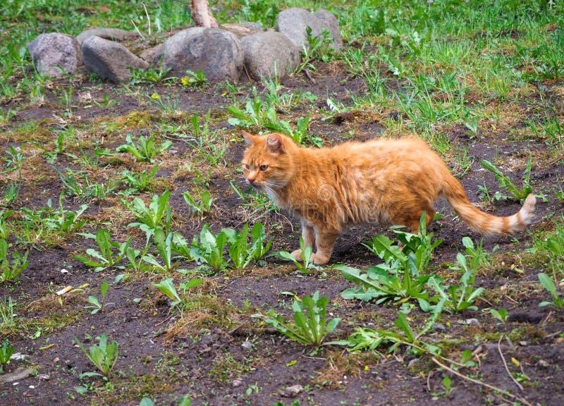Un gato rojo está caminando en el jardín imagenes de archivo