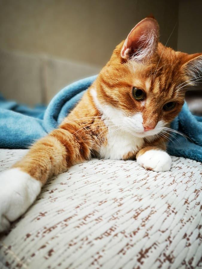 Un gato rojo lindo grande miente en un sofá suave con una manta azul y mira lejos imagenes de archivo