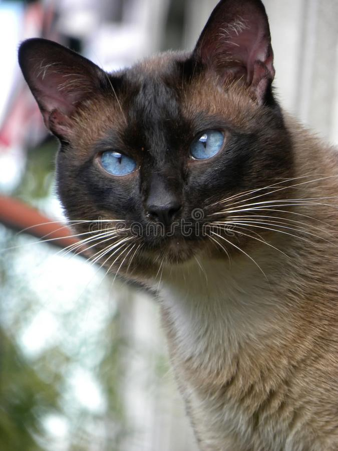 Un gato siamés que mira la cámara fotografía de archivo libre de regalías