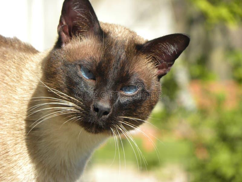 Un gato siamés que mira la cámara imagenes de archivo