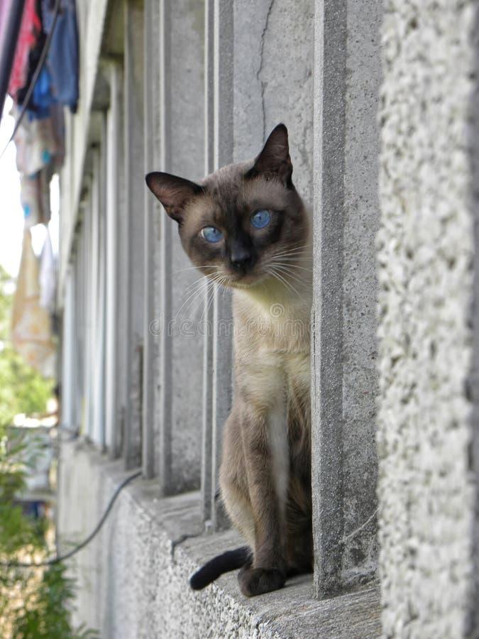 Un gato siamés que mira la cámara fotos de archivo libres de regalías
