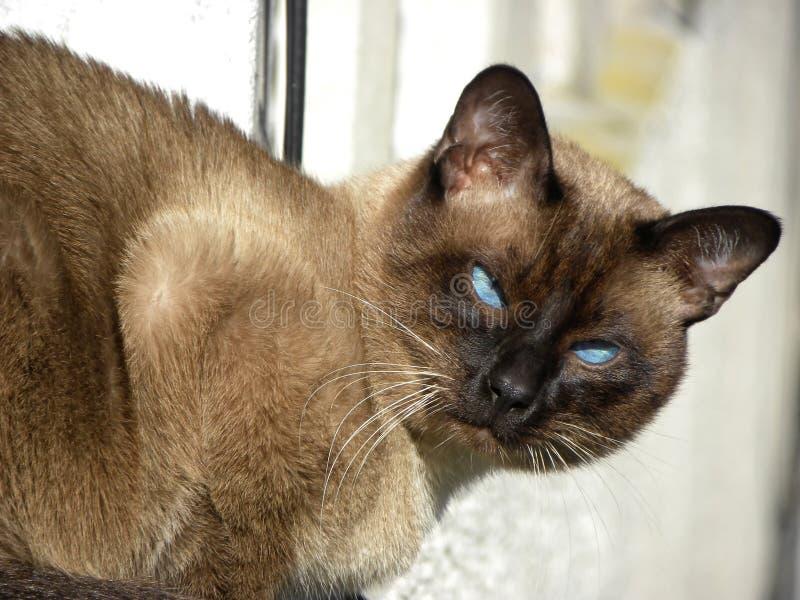 Un gato siamés que mira la cámara imágenes de archivo libres de regalías