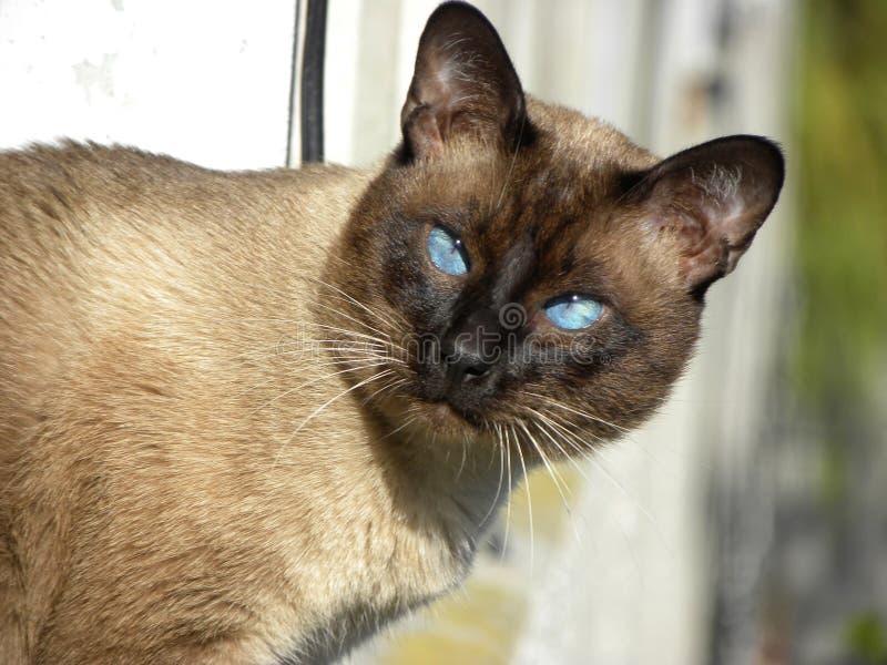 Un gato siamés que mira la cámara foto de archivo libre de regalías