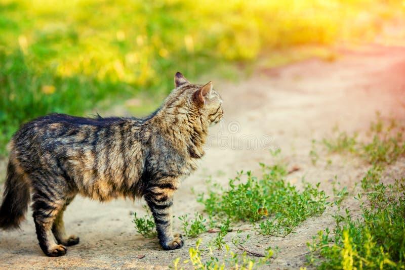 Un gato siberiano en un camino de tierra fotografía de archivo