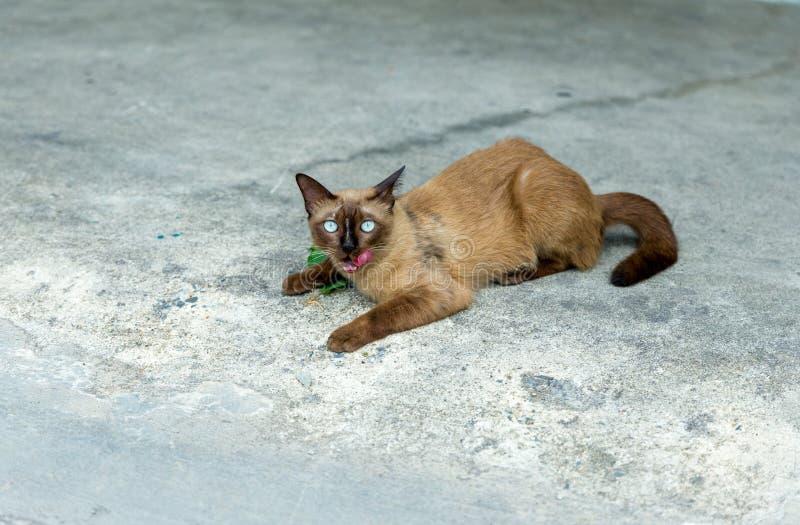 Un gato tailandés lindo, llama el gato siamés que mira la cámara y muestra la lengua rosada con el fondo del piso del cemento, fo fotos de archivo